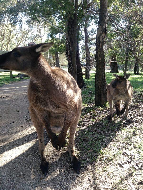 Кенгуру в парке Urimbirra Wildlife Park