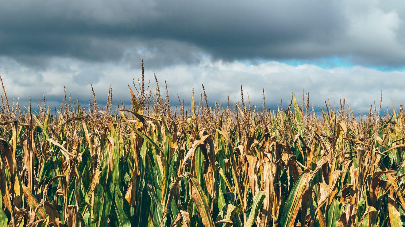 Кукурузный рай
